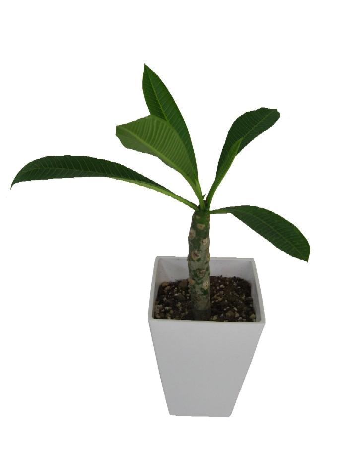プルメリア(生花鉢物)