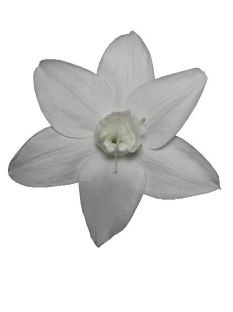 ユーチャリス(ホワイト)・L