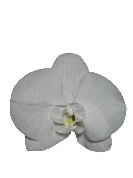 コチョウラン(ホワイト)・S
