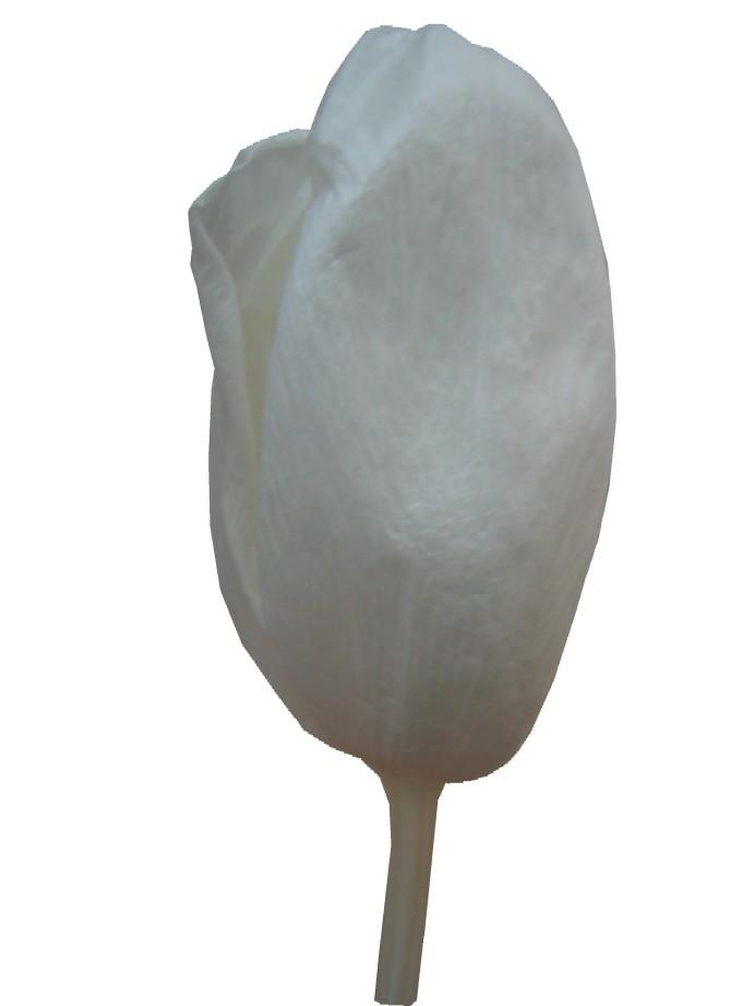 チューリップS・ホワイト