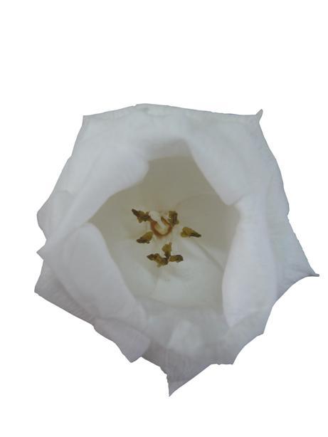 トルコキキョウ(ホワイト)