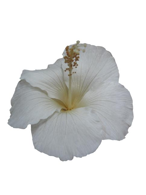 ハイビスカス(ホワイト)