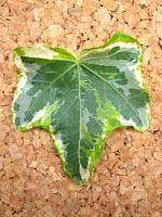 ミントコリブリ(40cm 1束25本入×2束(50本))