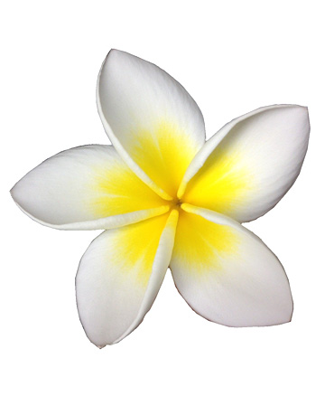 プルメリア(切り花)