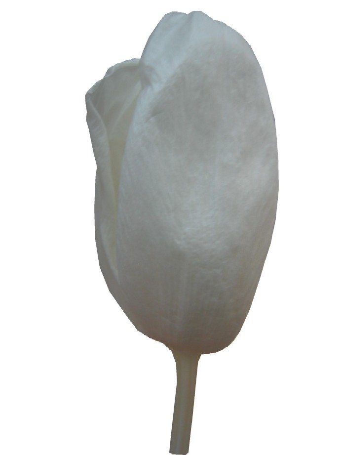 チューリップM・ホワイト