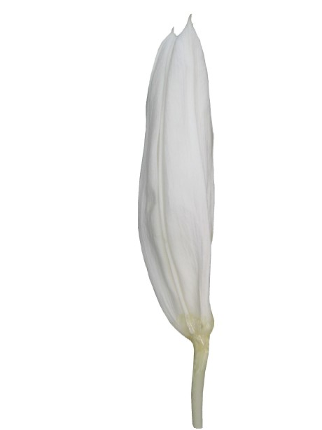 カサブランカ・つぼみ(ホワイト)