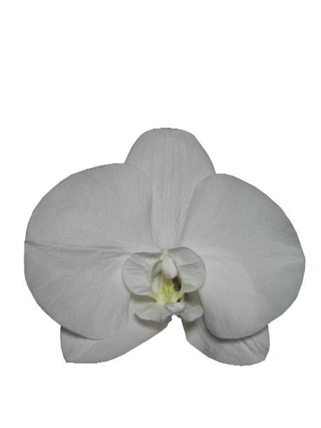 コチョウラン(ホワイト))・M