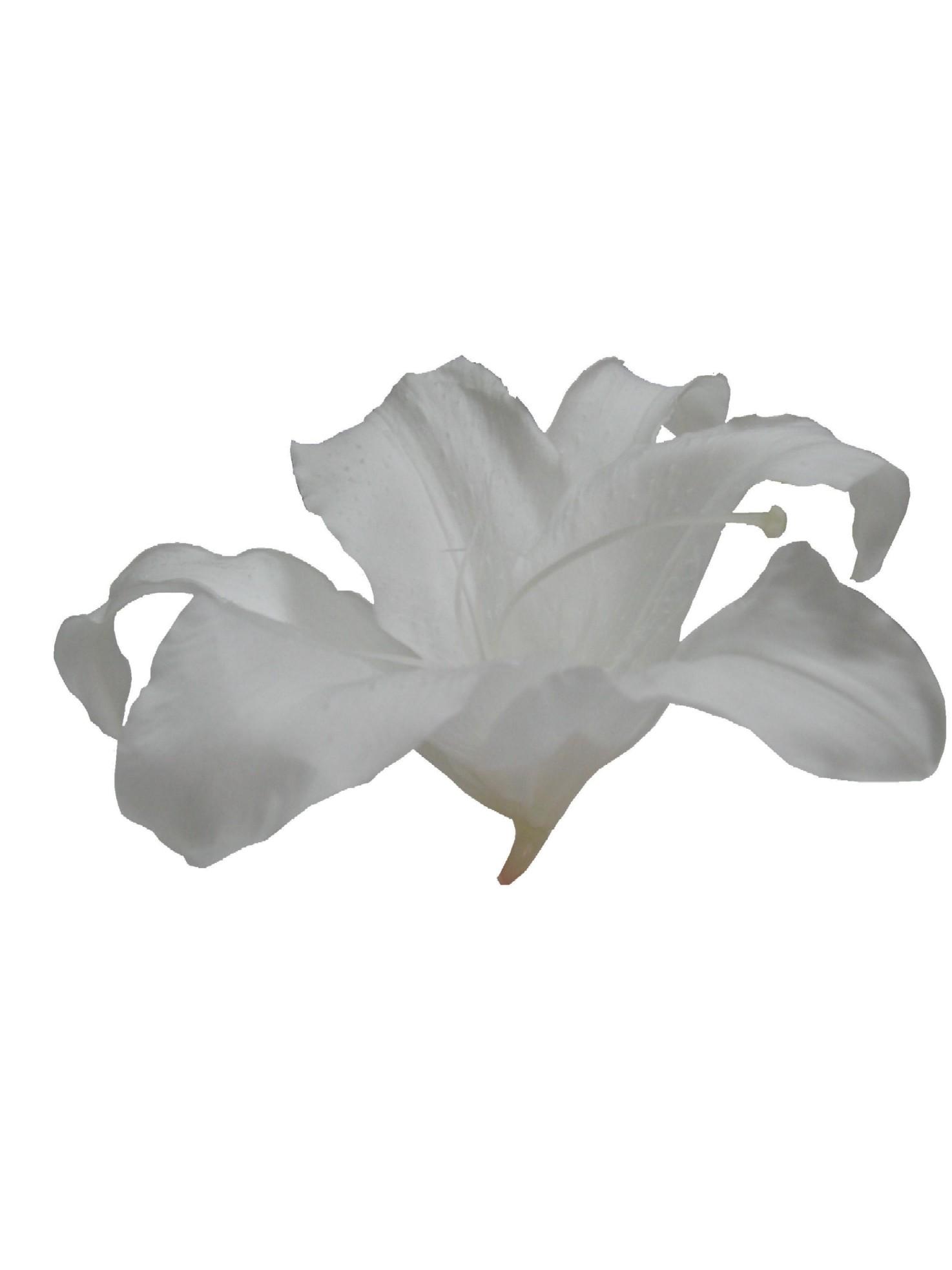 カサブランカSS(ホワイト)