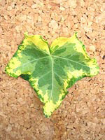 ゴールデンセシリエ(60cm 1束10本入×5束(50本))