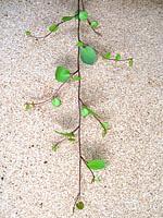 ワイヤープランツグリーン(50cm 1束25本入)